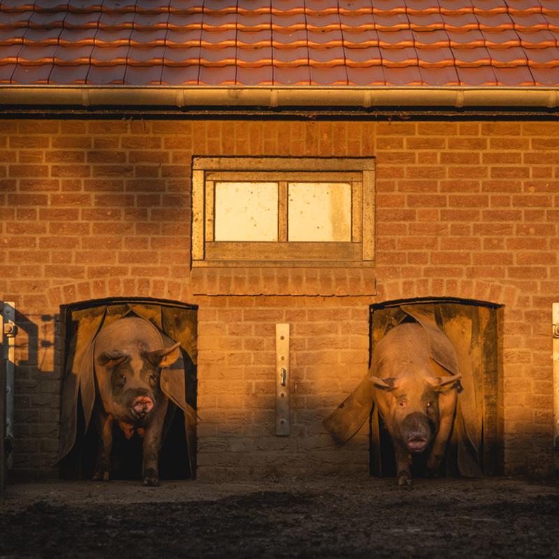 Story behind quality pork (livar)